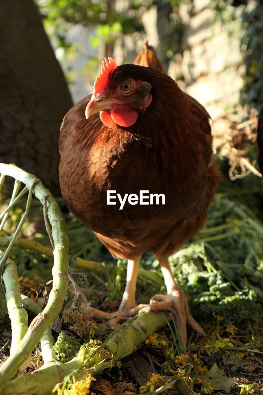 Hen on field