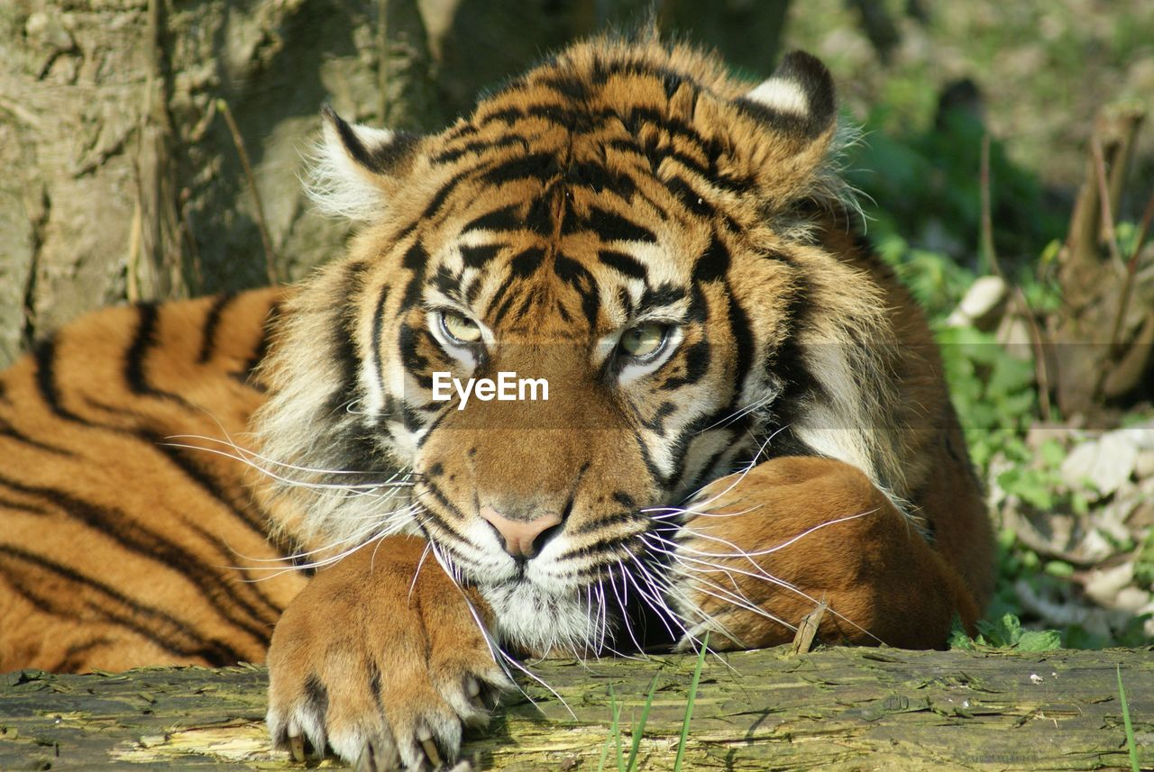animal, animal themes, animal wildlife, animals in the wild, big cat, feline, one animal, mammal, tiger, cat, day, carnivora, portrait, focus on foreground, relaxation, no people, nature, endangered species, zoo, whisker, outdoors, animal head, undomesticated cat