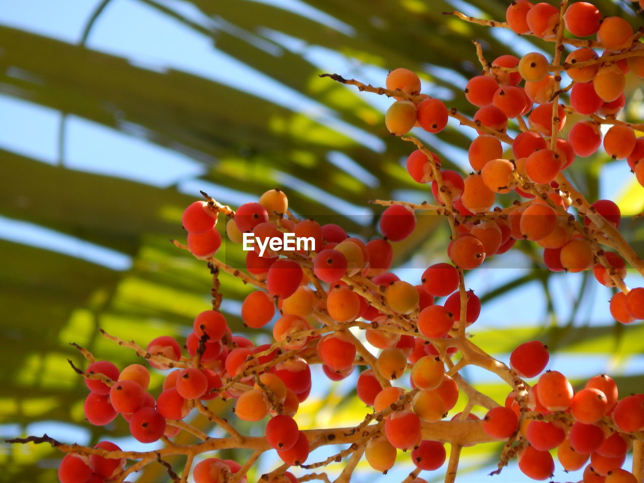 fruit, growth, food and drink, focus on foreground, tree, beauty in nature, nature, day, food, growing, outdoors, no people, red, low angle view, freshness, rowanberry, close-up, healthy eating, branch, sky