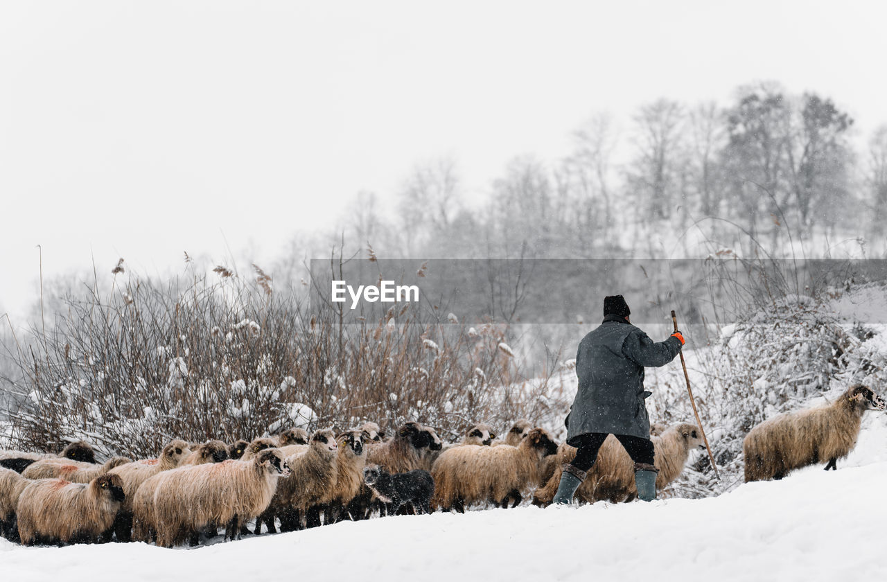 Rear view of shephard and sheep on snow covered land