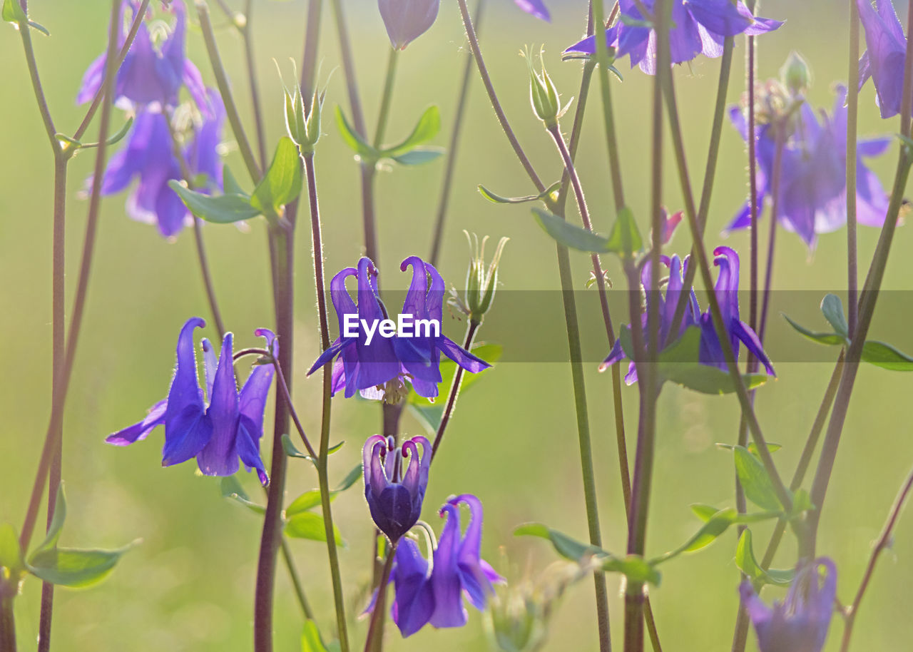 PURPLE FLOWERING PLANTS
