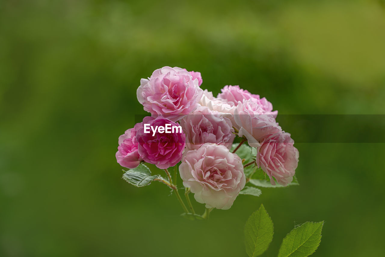 pink color, beauty in nature, plant, flower, flowering plant, freshness, vulnerability, petal, close-up, fragility, growth, flower head, inflorescence, nature, plant part, leaf, rose, no people, rose - flower, green color
