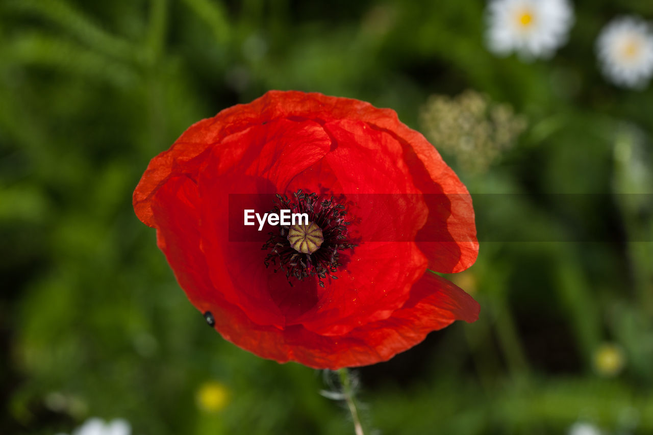 flowering plant, flower, plant, red, vulnerability, fragility, freshness, beauty in nature, petal, flower head, inflorescence, growth, close-up, poppy, focus on foreground, nature, day, animal wildlife, no people, pollen, pollination