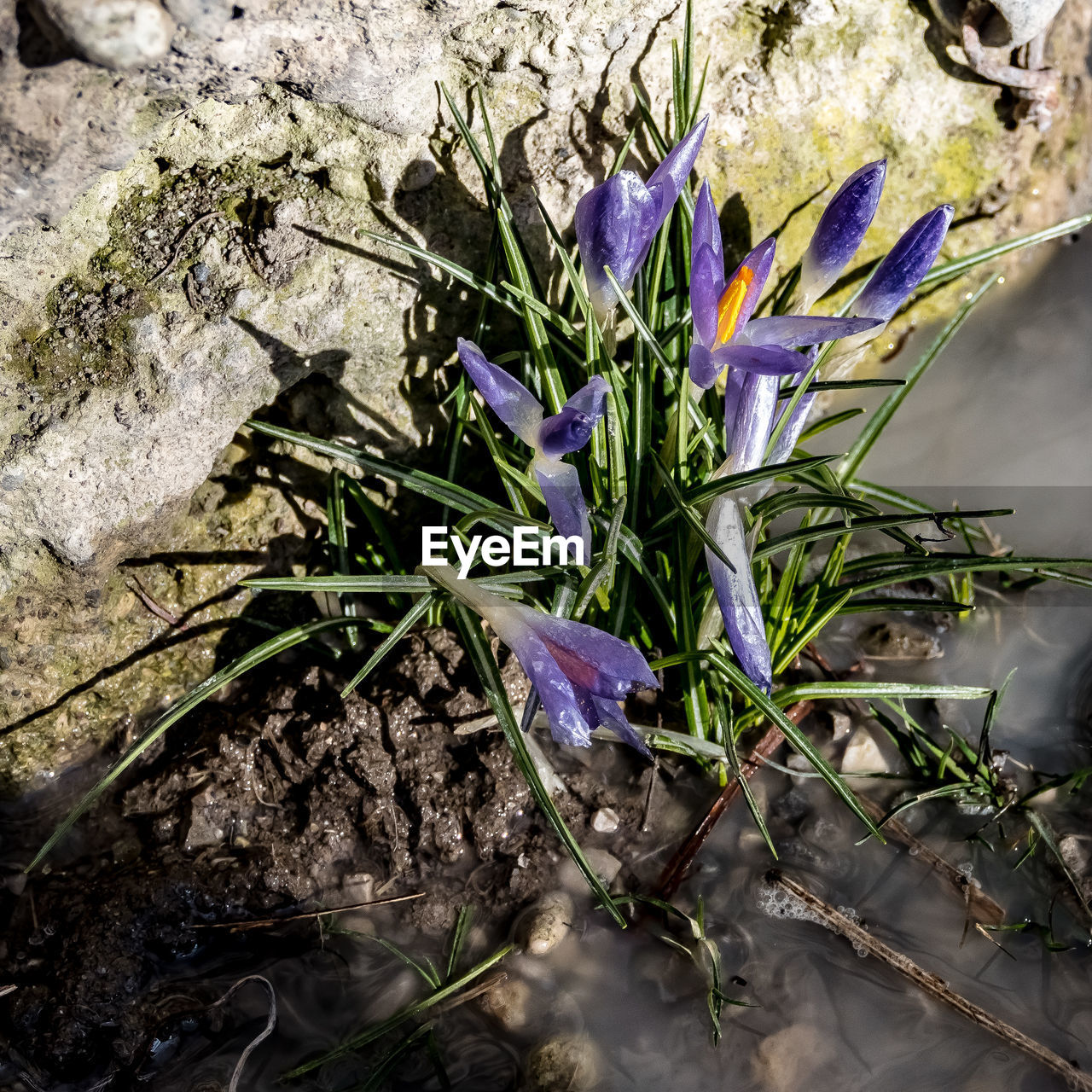 growth, nature, plant, flower, purple, beauty in nature, leaf, fragility, no people, petal, day, outdoors, freshness, flower head, close-up, blooming, crocus