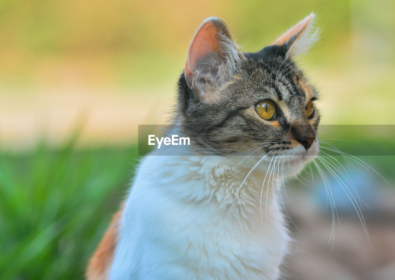 one animal, animal themes, pets, domestic, cat, mammal, domestic animals, feline, animal, domestic cat, vertebrate, whisker, looking, focus on foreground, looking away, close-up, no people, day, animal body part, selective focus, animal head, animal eye, tabby