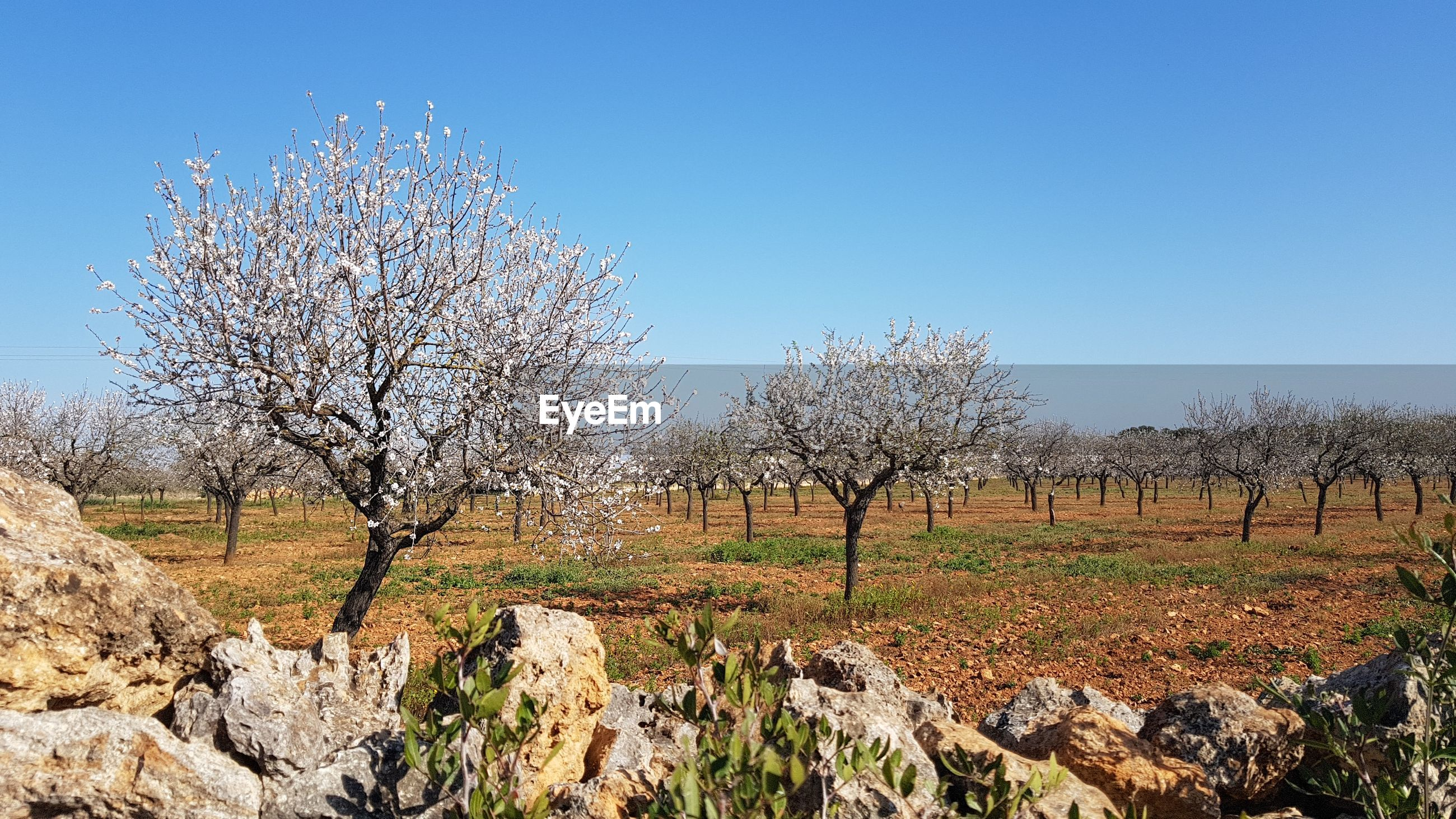 Plantation of blooming almond trees behind stone wall against blue sky