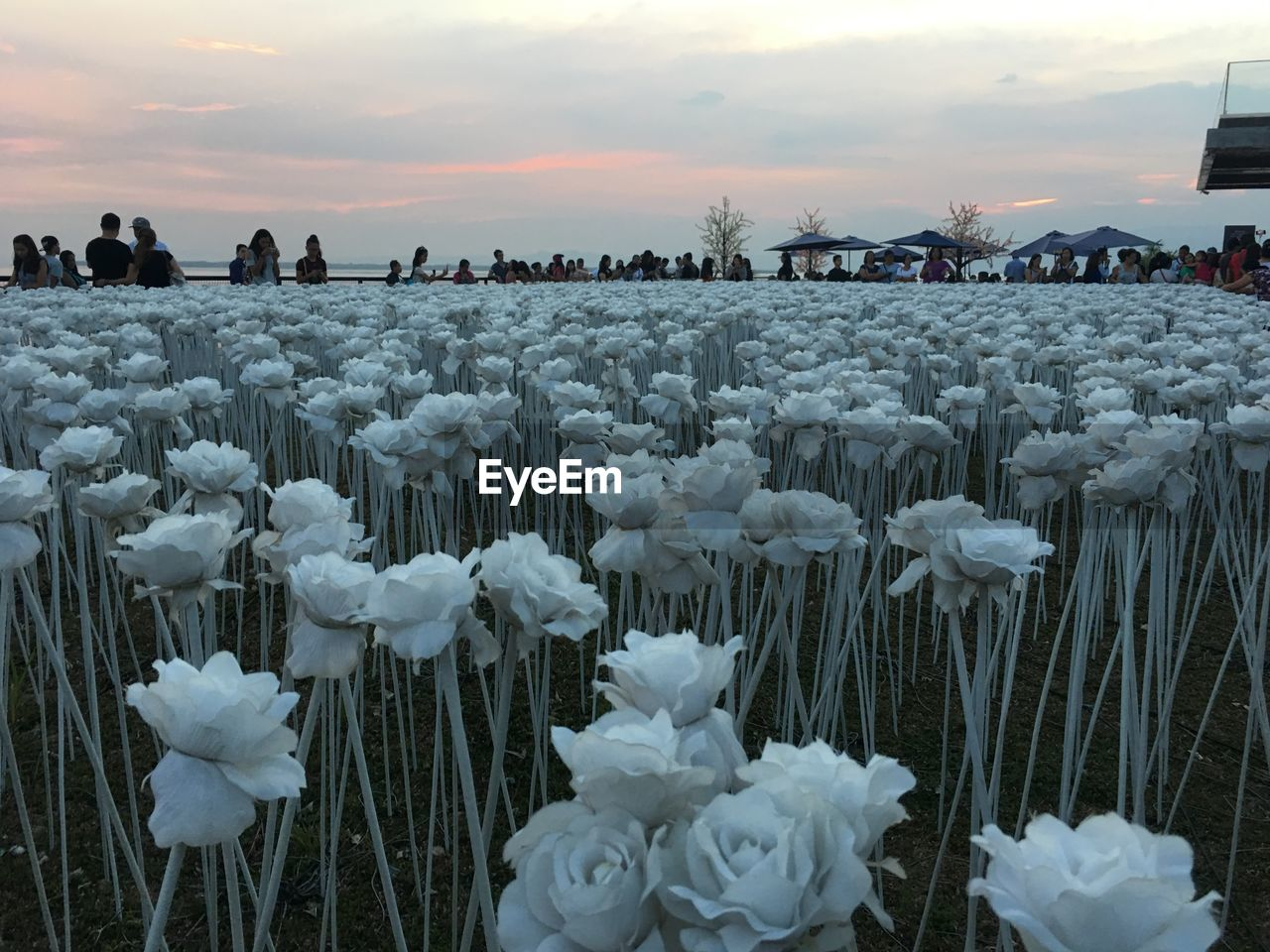 flower, nature, sunset, sky, beauty in nature, plant, flowering plant, vulnerability, fragility, cloud - sky, abundance, no people, land, white color, freshness, outdoors, close-up, day, field, growth, flower head