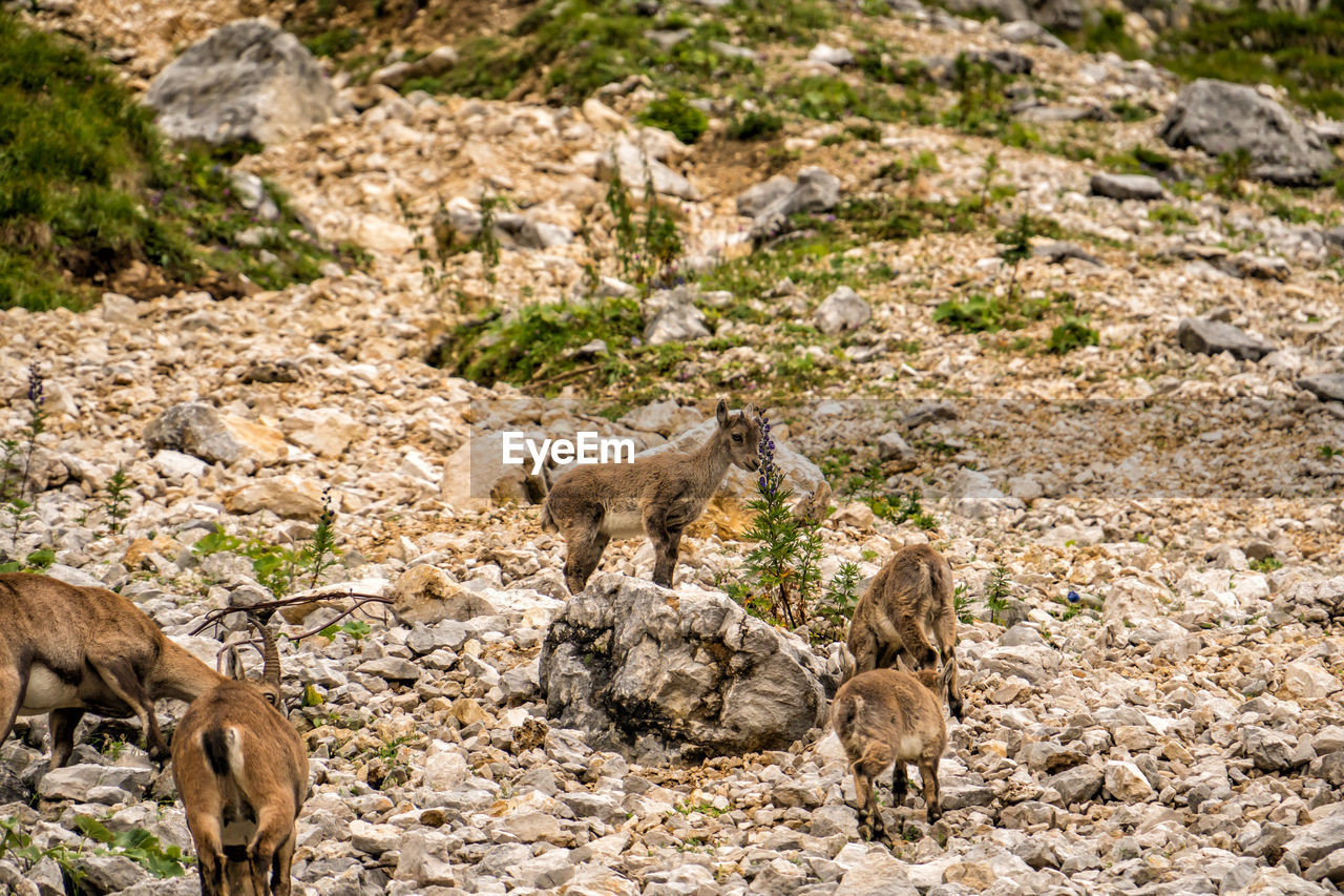 animal themes, animal, mammal, group of animals, animals in the wild, animal wildlife, young animal, vertebrate, no people, land, nature, day, domestic animals, animal family, medium group of animals, standing, three animals, solid, rock, field