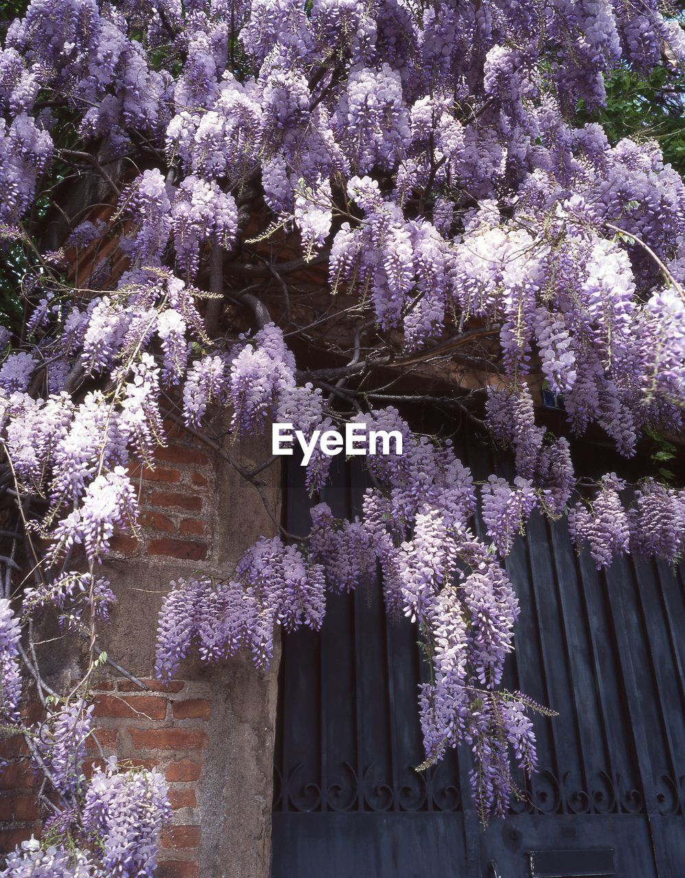 flower, tree, wisteria, growth, branch, blossom, springtime, beauty in nature, nature, fragility, day, purple, outdoors, no people, low angle view, freshness, plant, pink color, blooming, architecture, close-up