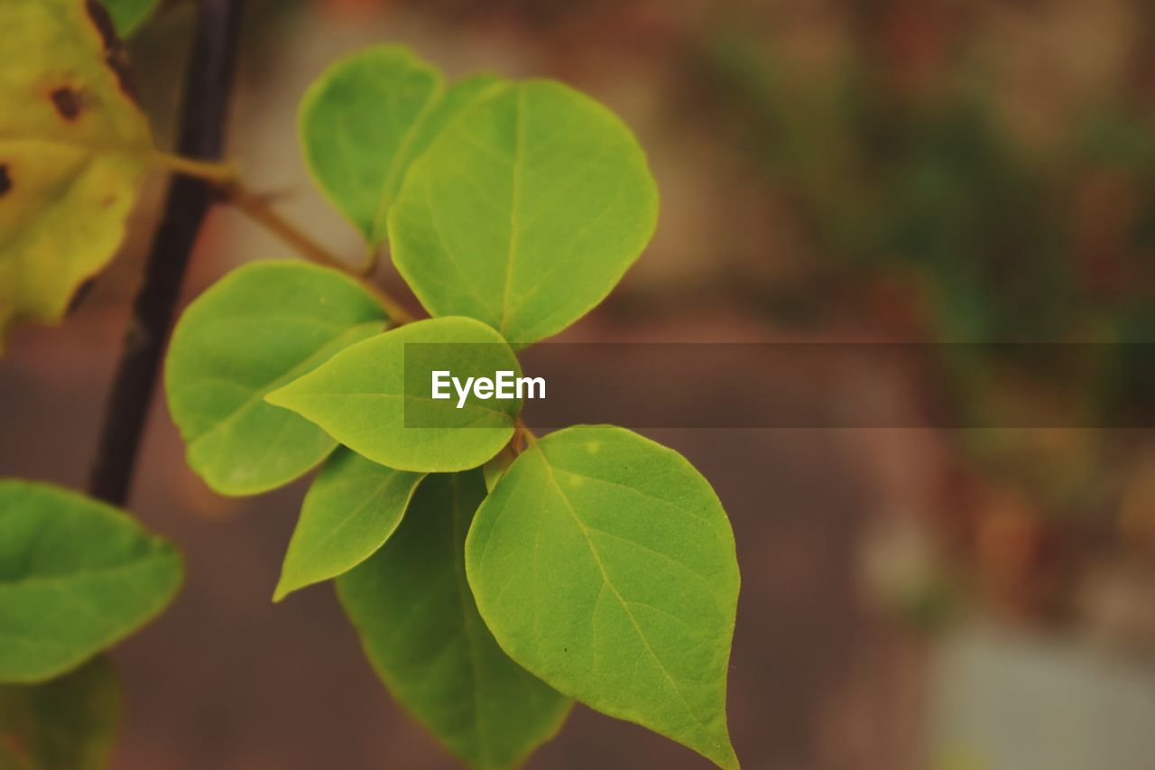 plant part, leaf, growth, green color, plant, close-up, focus on foreground, beauty in nature, nature, day, no people, selective focus, outdoors, leaves, vulnerability, leaf vein, freshness, fragility, clover, tranquility