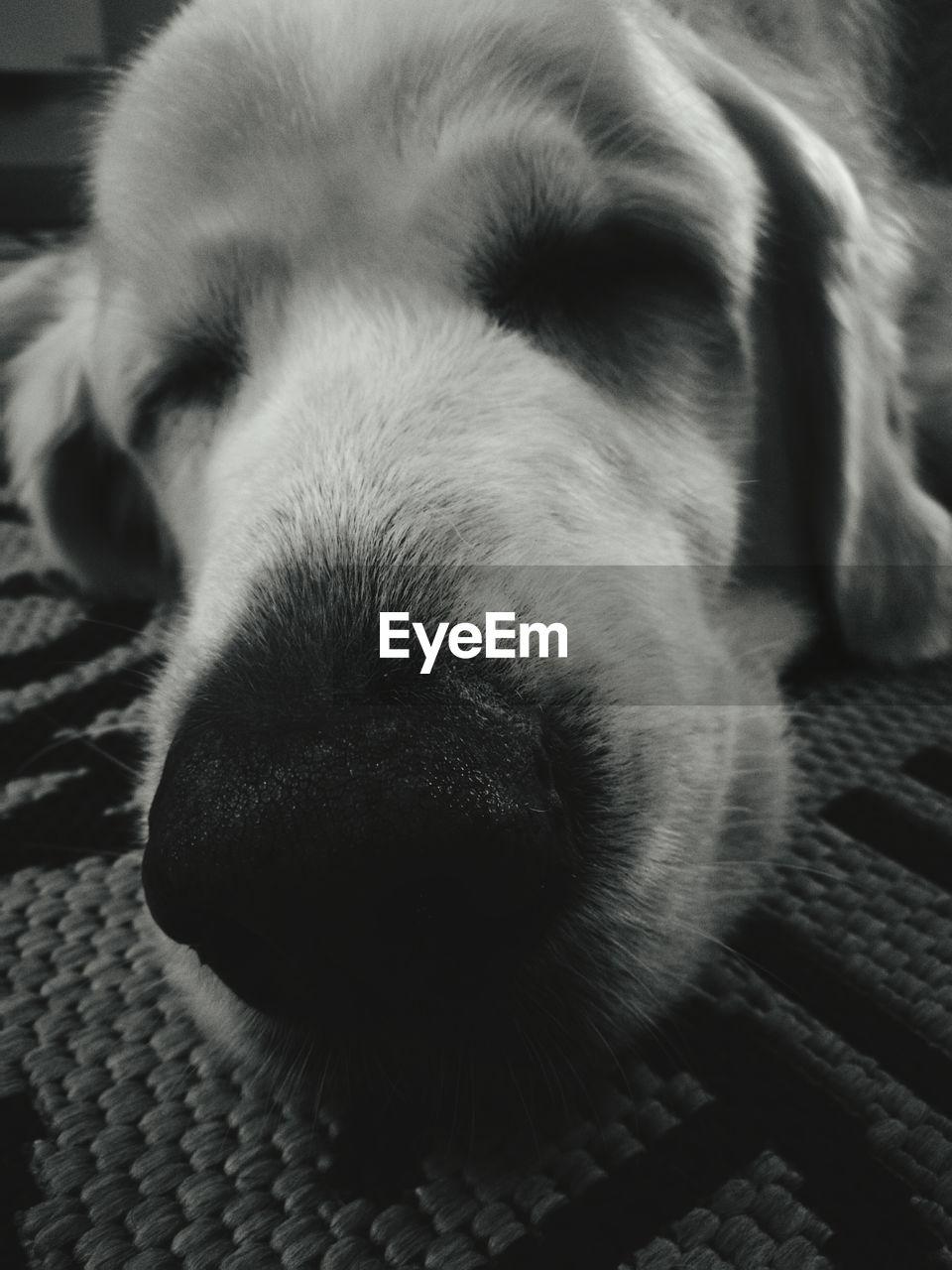 dog, pets, one animal, domestic animals, animal themes, mammal, close-up, animal head, indoors, no people, animal nose, day