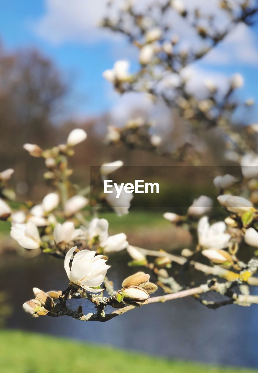 plant, flowering plant, flower, growth, fragility, vulnerability, beauty in nature, freshness, tree, day, focus on foreground, close-up, nature, petal, springtime, white color, flower head, no people, blossom, selective focus, outdoors, pollen, cherry blossom, pollination
