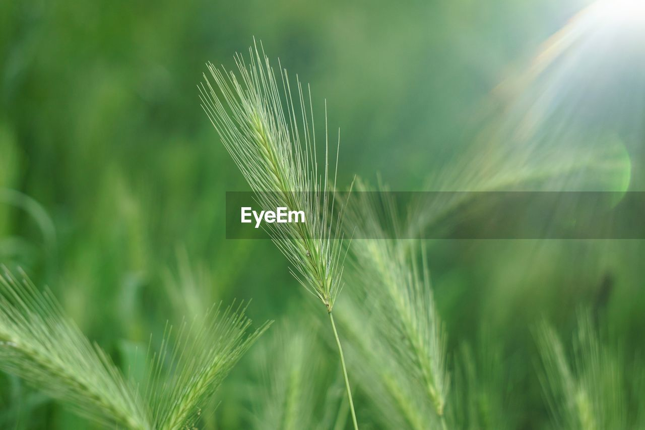 growth, green color, plant, nature, close-up, beauty in nature, crop, day, cereal plant, selective focus, agriculture, no people, ear of wheat, wheat, outdoors, focus on foreground, field, land, leaf, freshness, blade of grass, stalk