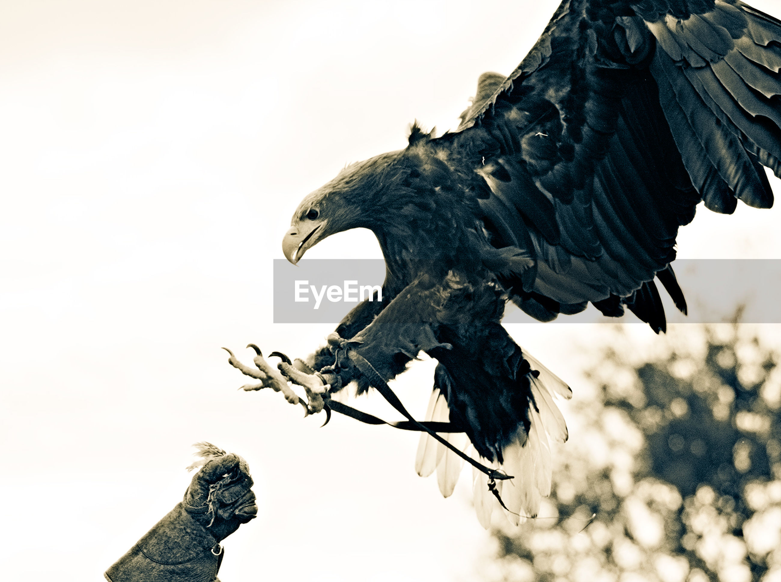 Low angle view of eagle landing on hand against clear sky