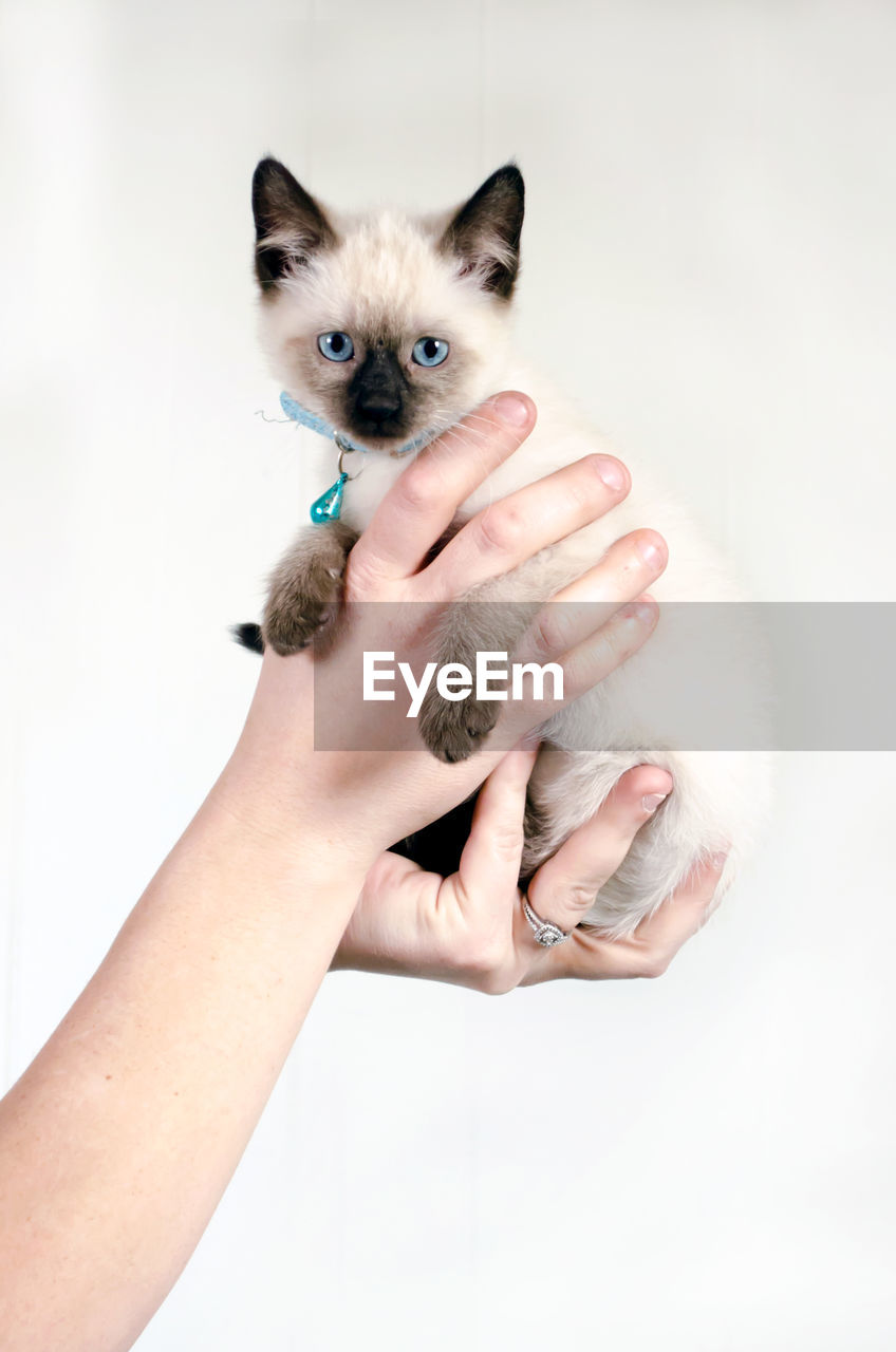 MIDSECTION OF HAND HOLDING CAT AGAINST WHITE BACKGROUND
