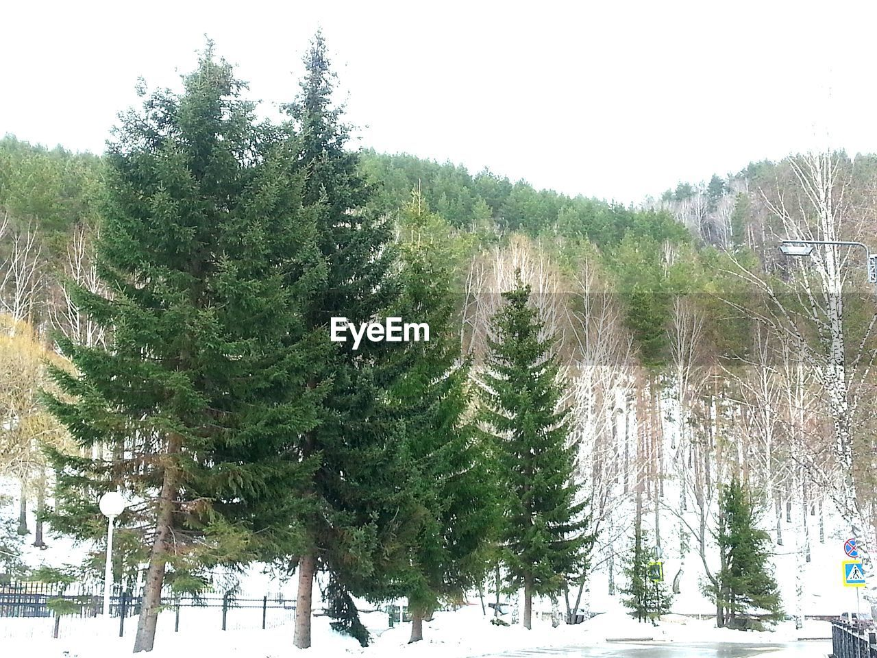 tree, plant, growth, snow, winter, beauty in nature, sky, nature, cold temperature, tranquility, tranquil scene, day, no people, green color, non-urban scene, land, scenics - nature, clear sky, outdoors, pine tree, coniferous tree
