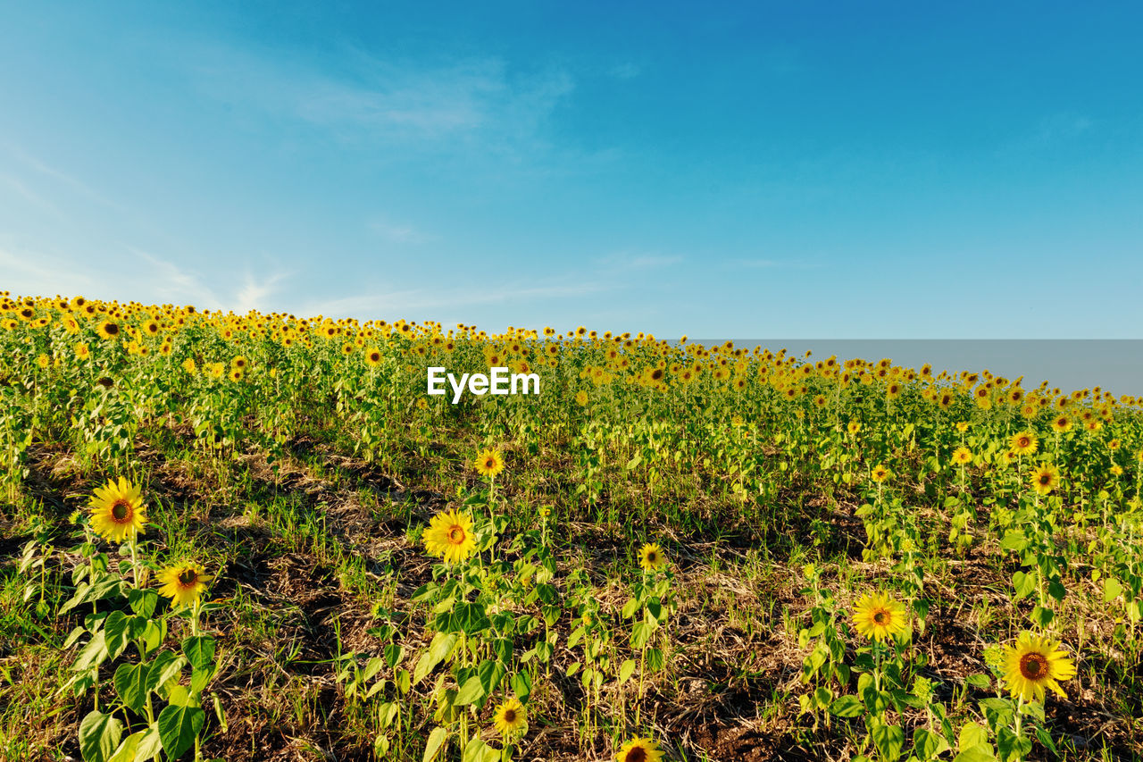 growth, plant, beauty in nature, flower, yellow, sky, field, flowering plant, tranquility, land, freshness, landscape, nature, vulnerability, fragility, day, no people, tranquil scene, scenics - nature, agriculture, outdoors, flower head, sunflower