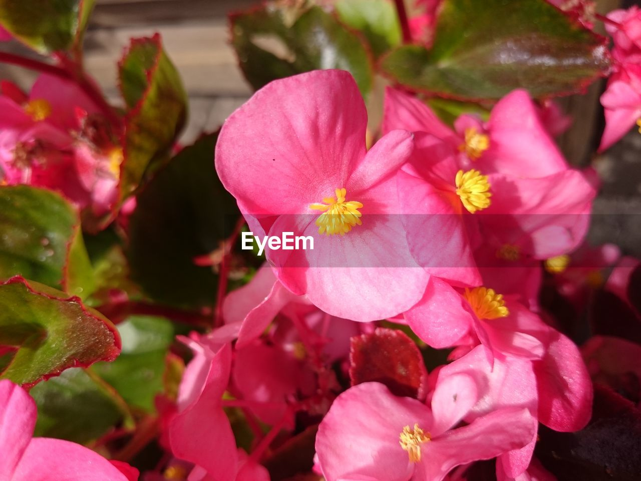 flower, petal, growth, flower head, fragility, pink color, beauty in nature, nature, no people, blooming, freshness, plant, outdoors, close-up, day, periwinkle