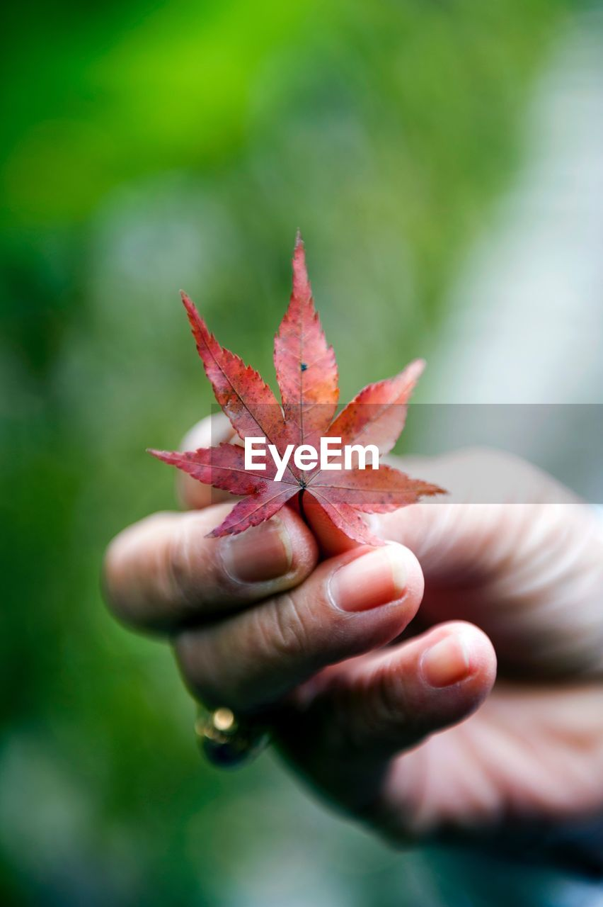 human hand, plant part, leaf, autumn, hand, one person, human body part, close-up, focus on foreground, change, holding, day, body part, real people, finger, unrecognizable person, human finger, lifestyles, maple leaf, nature, outdoors, leaves, human limb