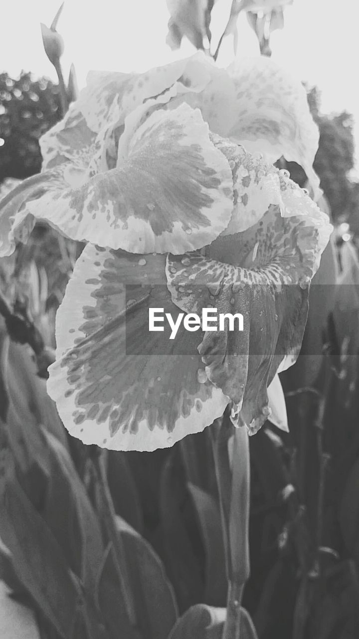flower, petal, flower head, growth, fragility, beauty in nature, freshness, nature, close-up, day, plant, no people, outdoors, focus on foreground, blooming, iris - plant, water