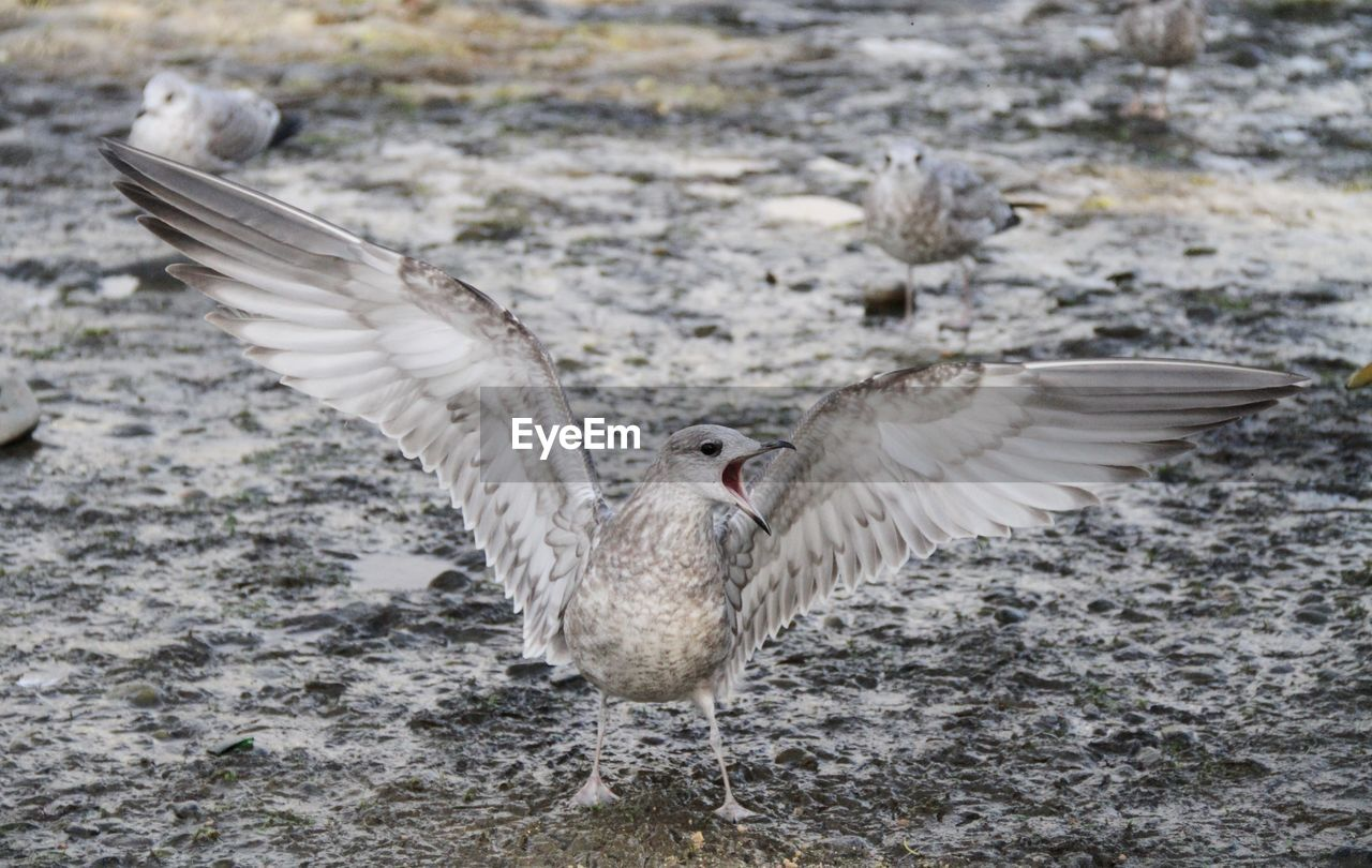 animals in the wild, animal, animal wildlife, bird, flying, animal themes, spread wings, vertebrate, one animal, nature, no people, motion, focus on foreground, day, flapping, animal wing, outdoors, zoology, feather, seagull