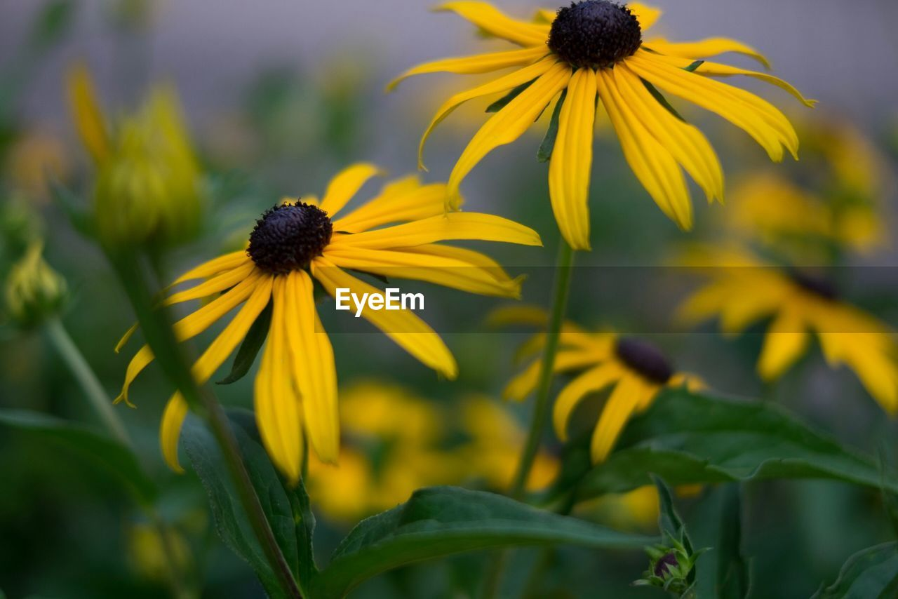 flower, flowering plant, growth, yellow, fragility, coneflower, plant, freshness, petal, vulnerability, beauty in nature, flower head, black-eyed susan, close-up, inflorescence, nature, focus on foreground, day, no people, outdoors, pollen