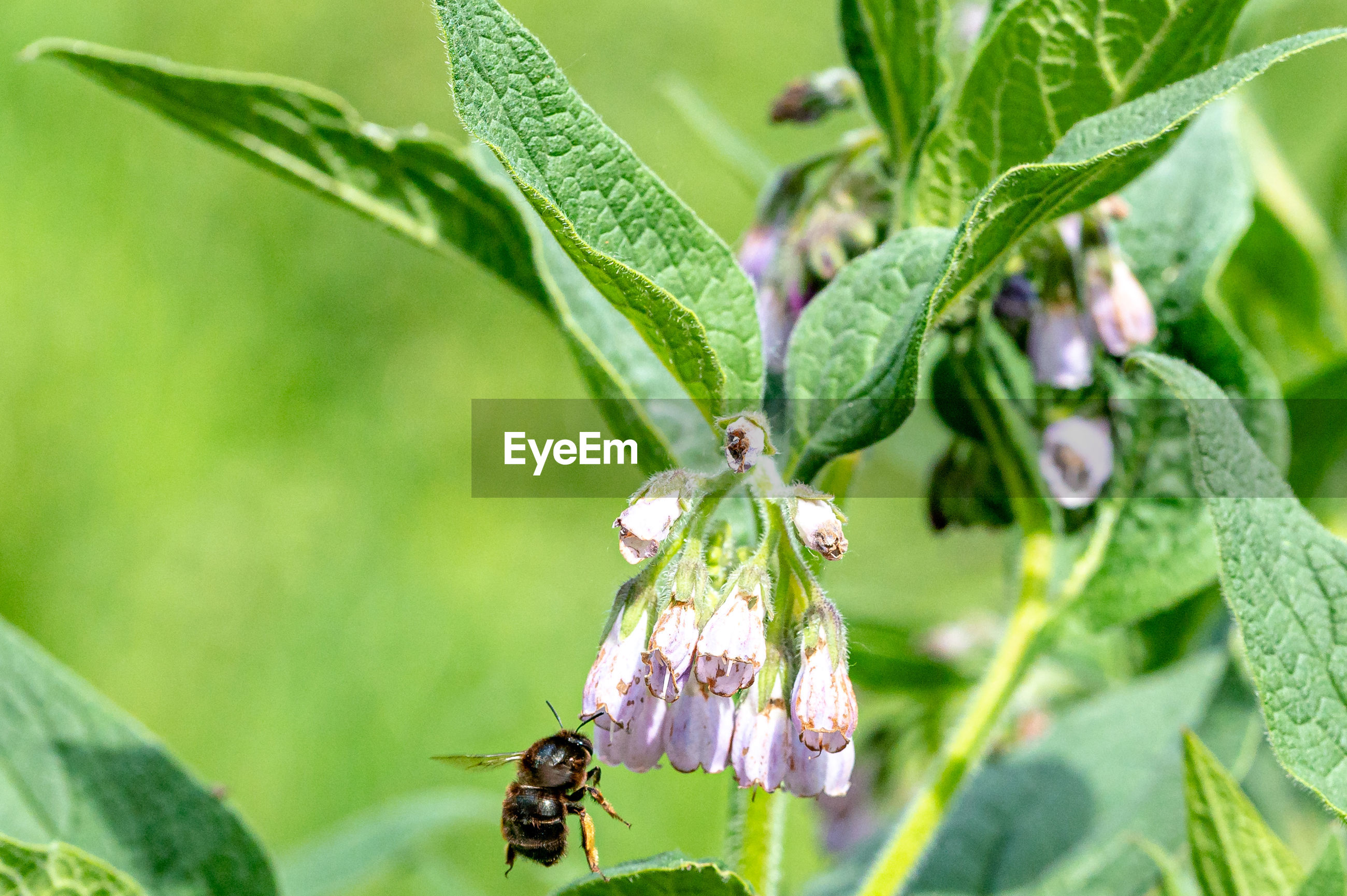 Female hairy-footed flower bee flying from flower to flower of the common or wild comfrey flower
