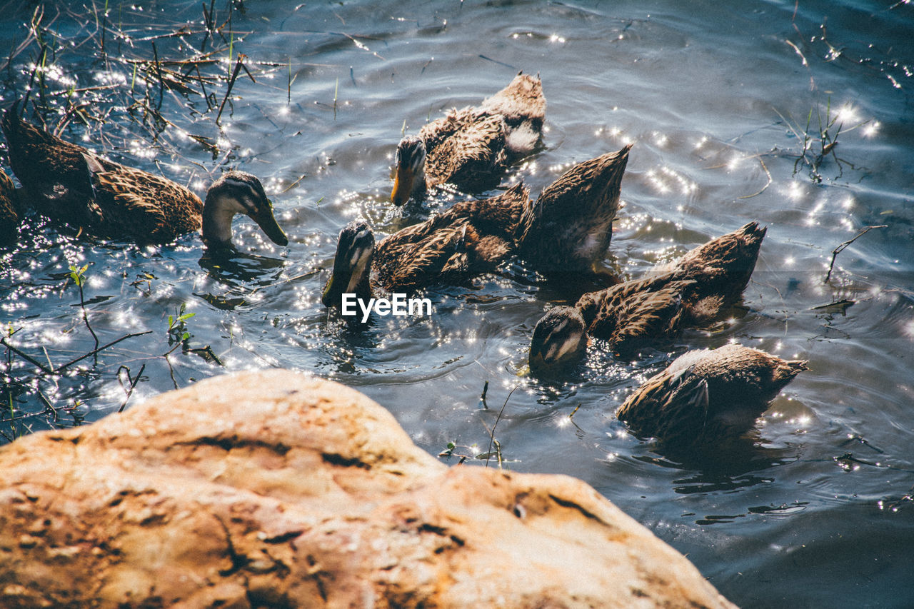 water, rock, rock - object, animal wildlife, solid, animals in the wild, animal themes, nature, animal, sea, vertebrate, high angle view, day, group of animals, swimming, no people, waterfront, outdoors, marine, flowing water