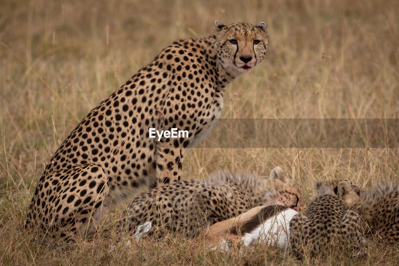 feline, cat, big cat, animal, animal wildlife, cheetah, mammal, animal themes, animals in the wild, group of animals, spotted, grass, two animals, no people, safari, plant, vertebrate, nature, focus on foreground, undomesticated cat, animal family