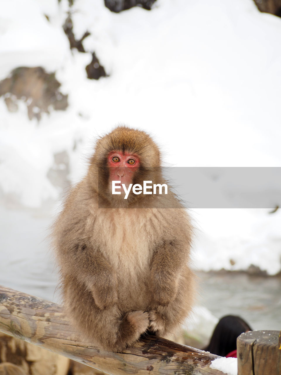 animal themes, animal, monkey, primate, mammal, animal wildlife, one animal, cold temperature, animals in the wild, japanese macaque, vertebrate, winter, snow, day, focus on foreground, nature, outdoors, portrait, no people