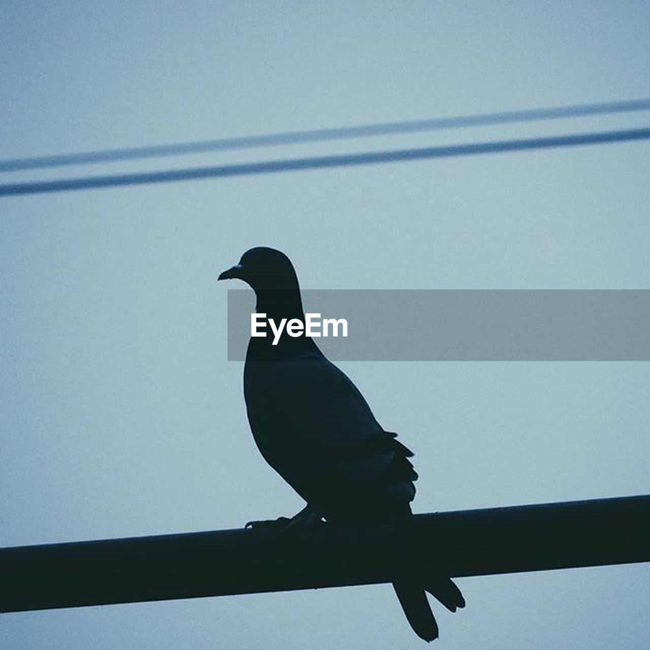 bird, animals in the wild, animal themes, one animal, silhouette, perching, animal wildlife, raven - bird, no people, low angle view, crow, day, outdoors, nature, clear sky