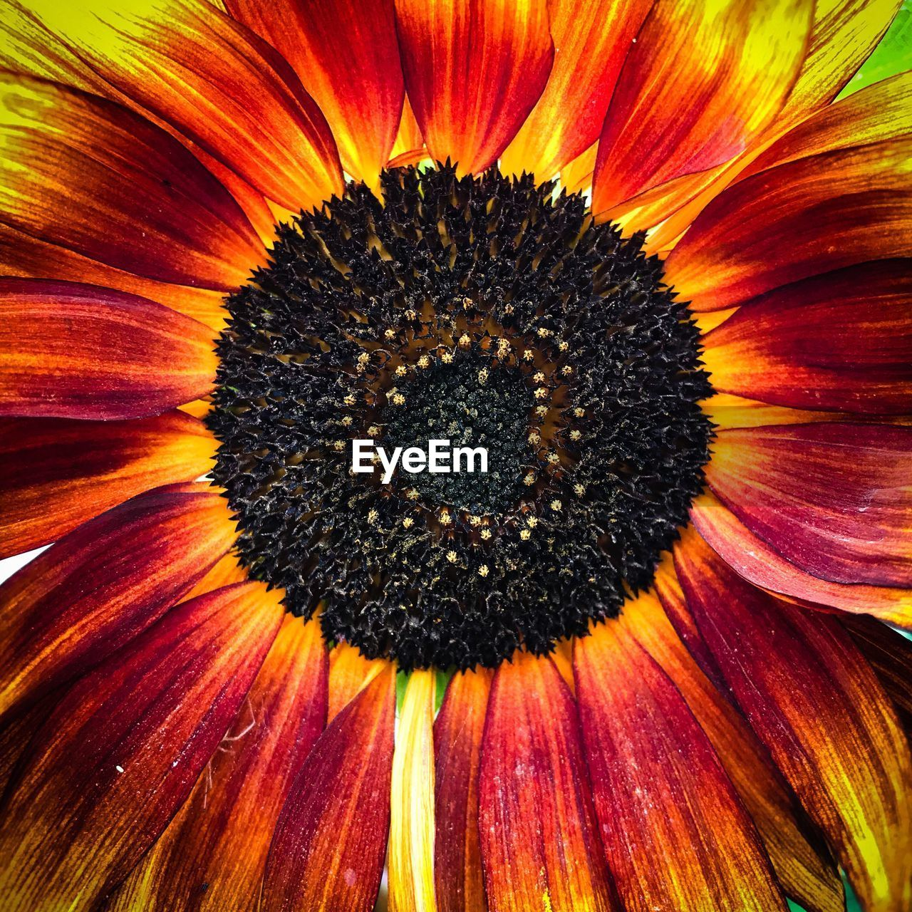 flower head, flower, petal, flowering plant, growth, beauty in nature, inflorescence, freshness, plant, close-up, vulnerability, full frame, fragility, pollen, backgrounds, no people, nature, orange color, yellow, sunflower, outdoors