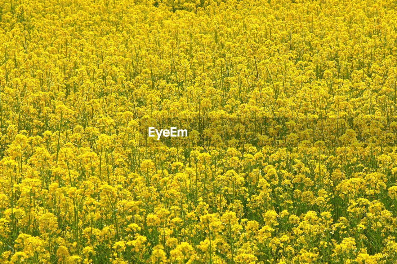 yellow, flower, beauty in nature, flowering plant, agriculture, plant, oilseed rape, field, rural scene, full frame, land, landscape, crop, growth, scenics - nature, abundance, freshness, day, no people, nature, springtime, outdoors, flowerbed