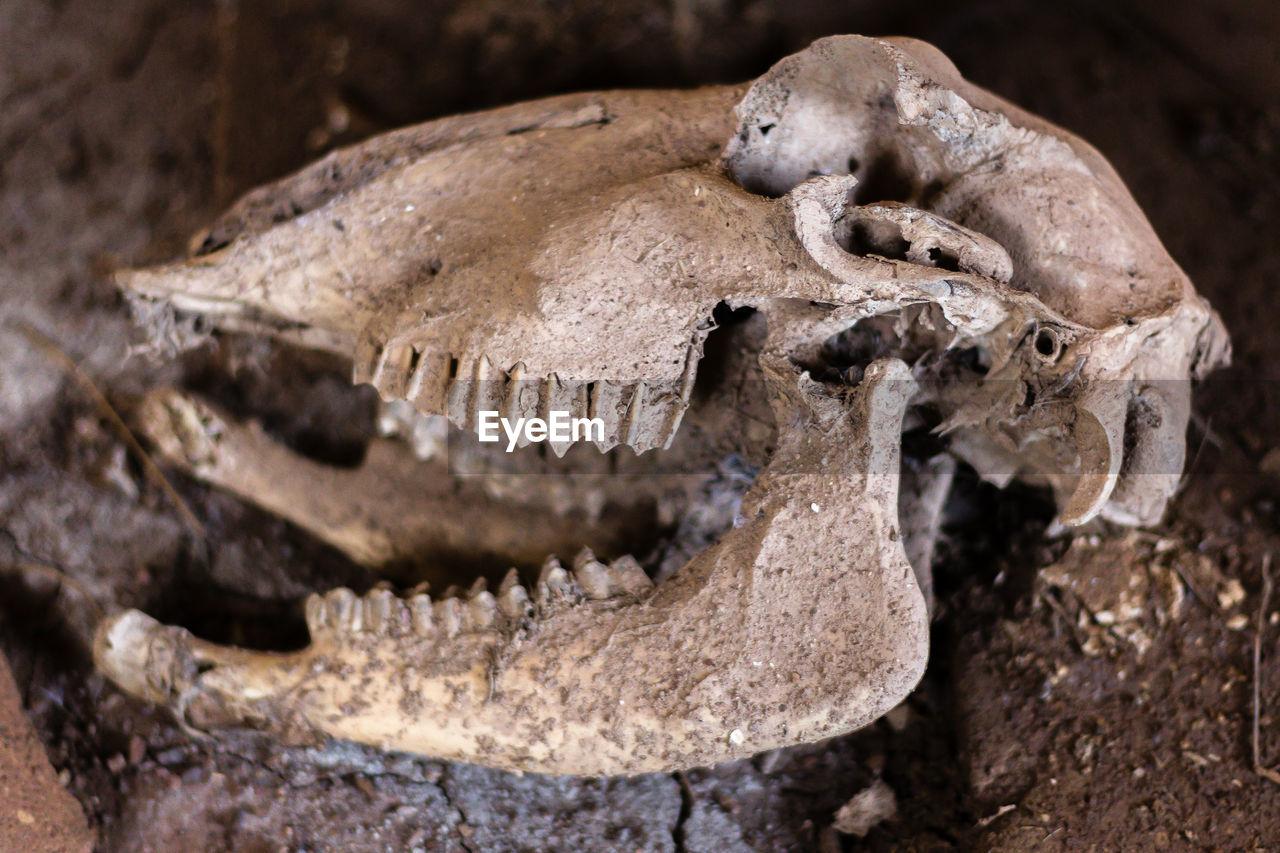 bone, animal skull, animal body part, animal teeth, animal bone, animal, history, animal themes, no people, close-up, fossil, body part, human skeleton, the past, animal skeleton, skeleton, indoors, skull, archaeology, animal head