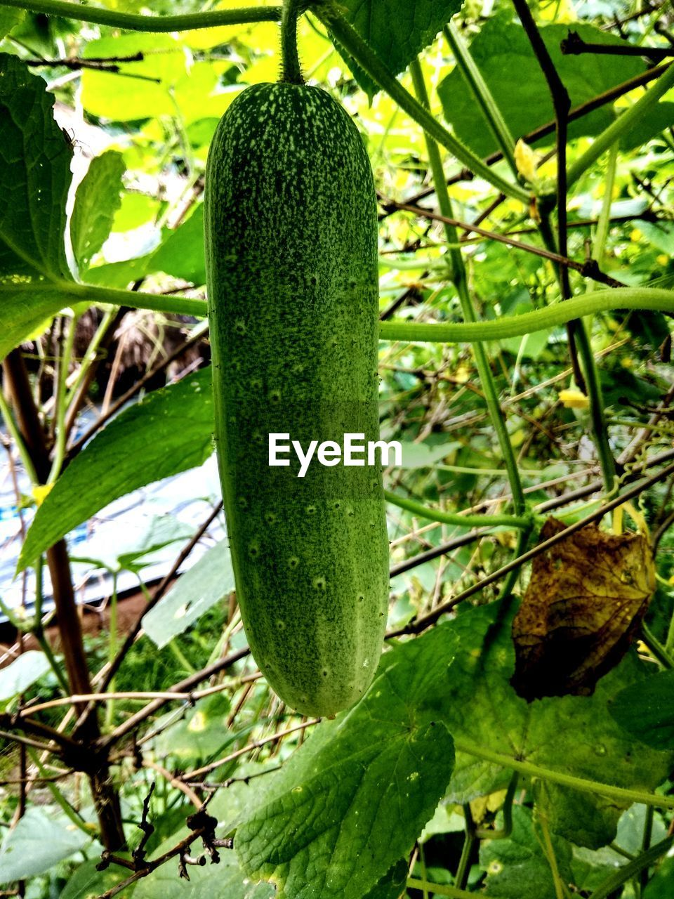 green color, growth, plant, leaf, plant part, food, freshness, no people, nature, food and drink, close-up, day, beauty in nature, outdoors, vegetable, wellbeing, healthy eating, focus on foreground, zucchini, agriculture