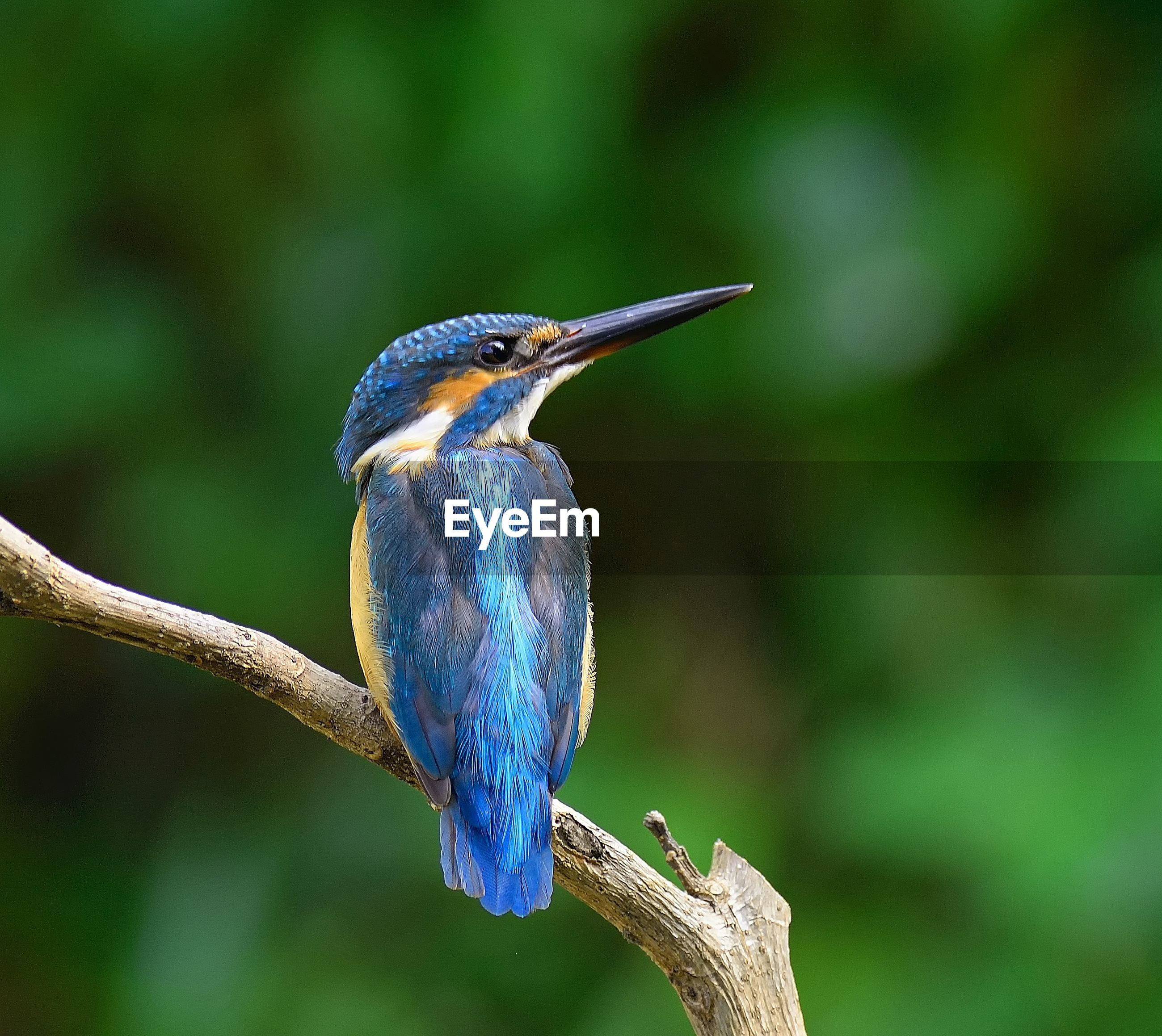 Close-up of common kingfisher perching on branch