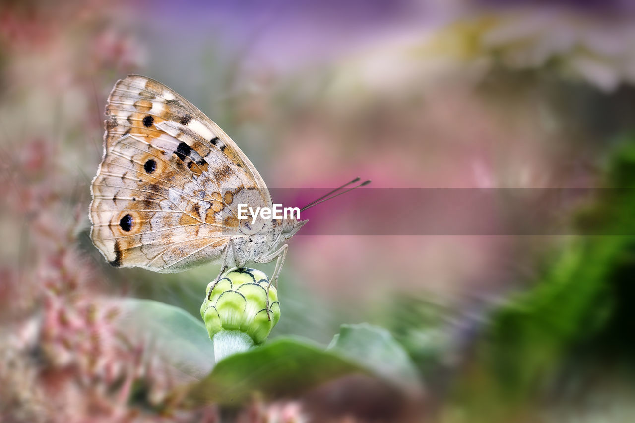 animal wildlife, invertebrate, insect, animal themes, animals in the wild, animal, one animal, animal wing, butterfly - insect, close-up, beauty in nature, selective focus, flower, plant, fragility, vulnerability, no people, day, nature, flowering plant, outdoors, butterfly, pollination