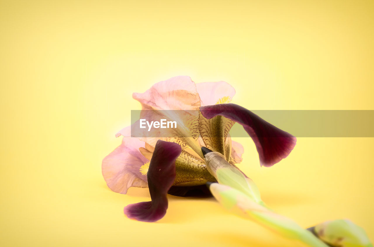 flowering plant, flower, petal, vulnerability, flower head, inflorescence, fragility, close-up, freshness, studio shot, beauty in nature, plant, yellow, no people, copy space, indoors, growth, nature, colored background, pollen, iris - plant