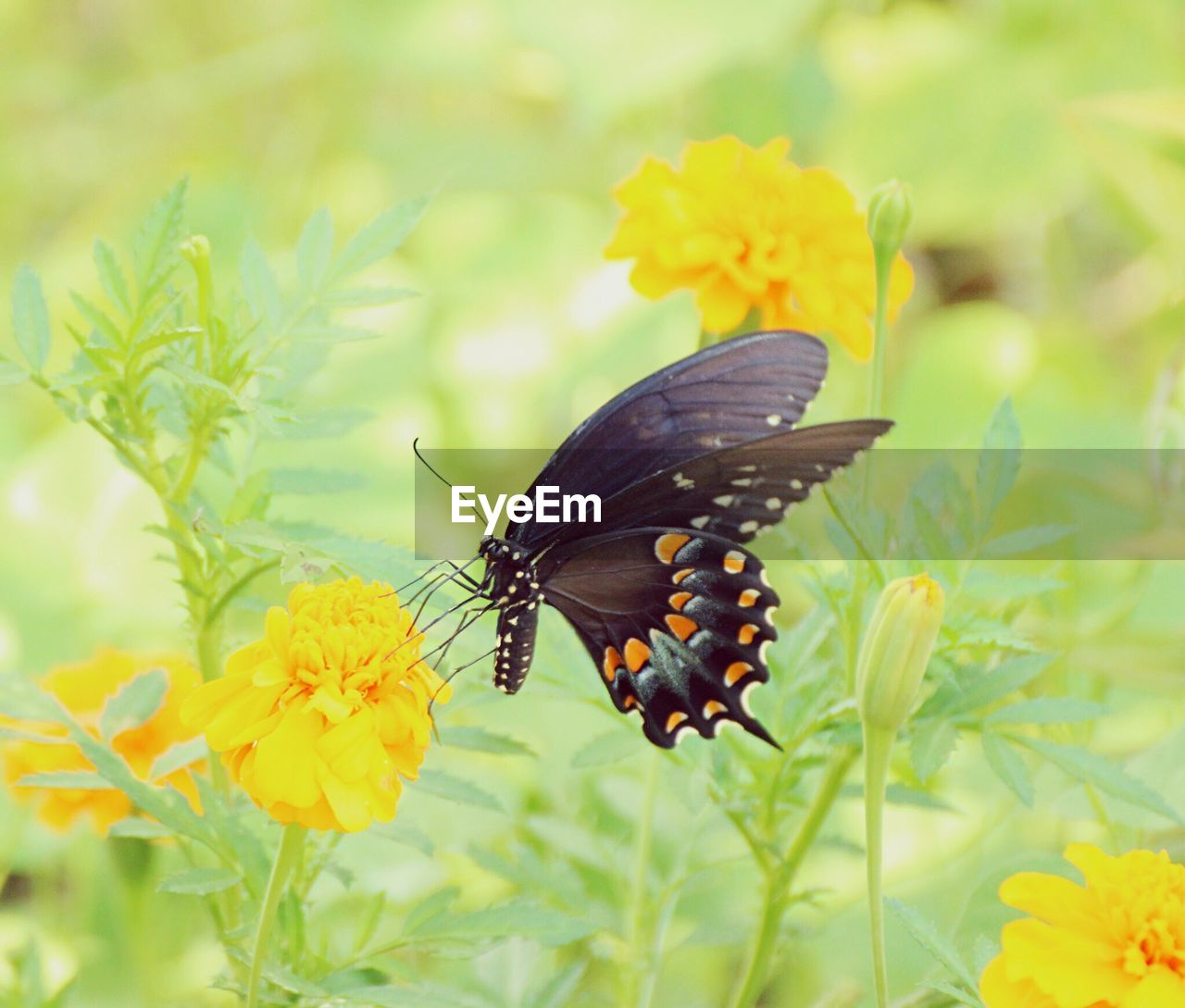 flower, yellow, insect, plant, animals in the wild, animal themes, butterfly - insect, nature, beauty in nature, one animal, petal, growth, butterfly, fragility, no people, freshness, close-up, outdoors, leaf, flower head, animal wildlife, pollination, day