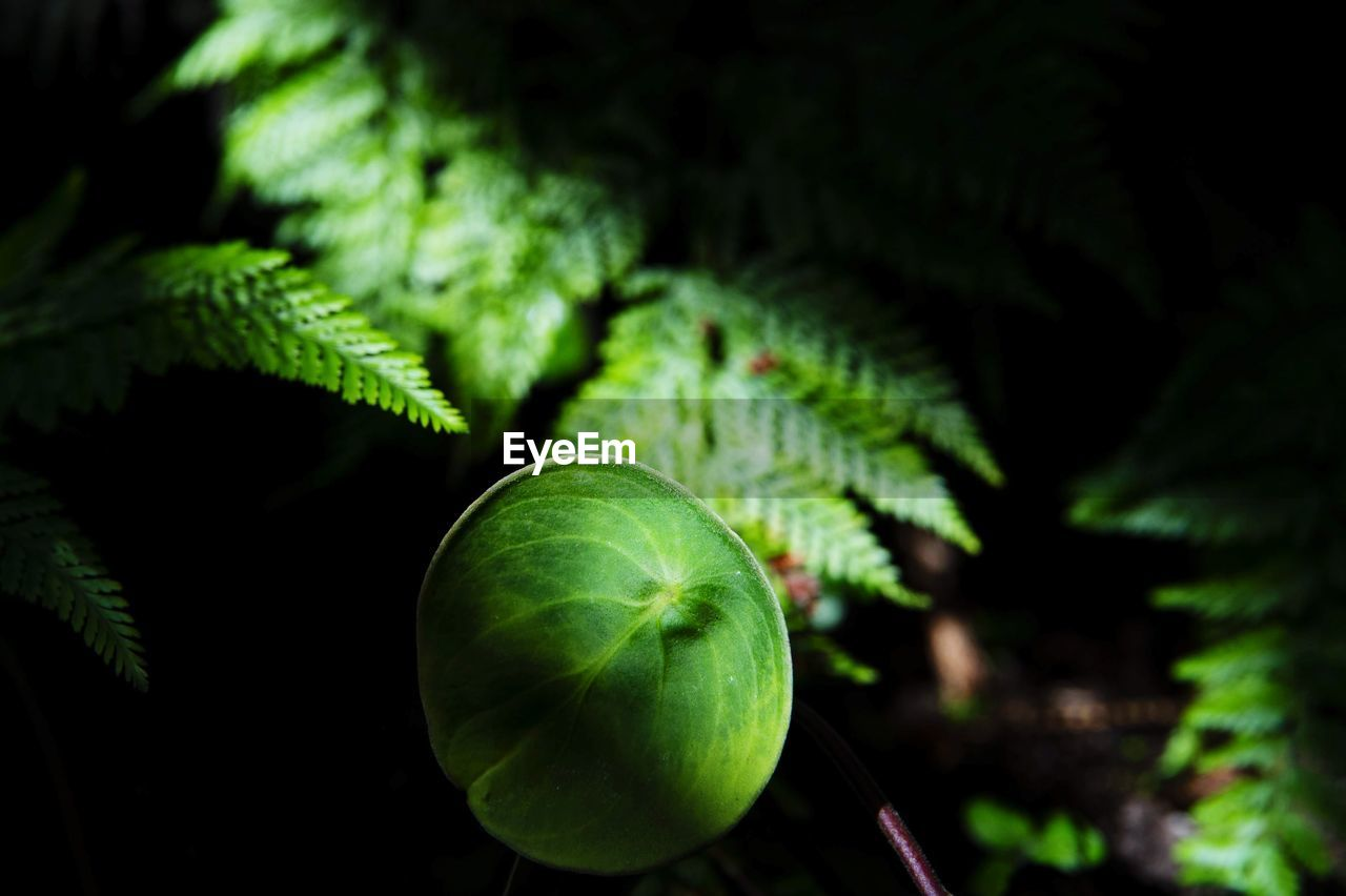 green color, leaf, growth, plant part, plant, freshness, close-up, food, food and drink, nature, tree, no people, beauty in nature, healthy eating, selective focus, focus on foreground, day, fruit, outdoors, tranquility, leaves