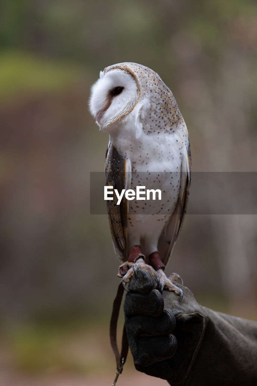 bird, animal wildlife, focus on foreground, animals in the wild, one animal, vertebrate, close-up, day, bird of prey, perching, no people, outdoors, nature, owl, beak, full length, mouth open