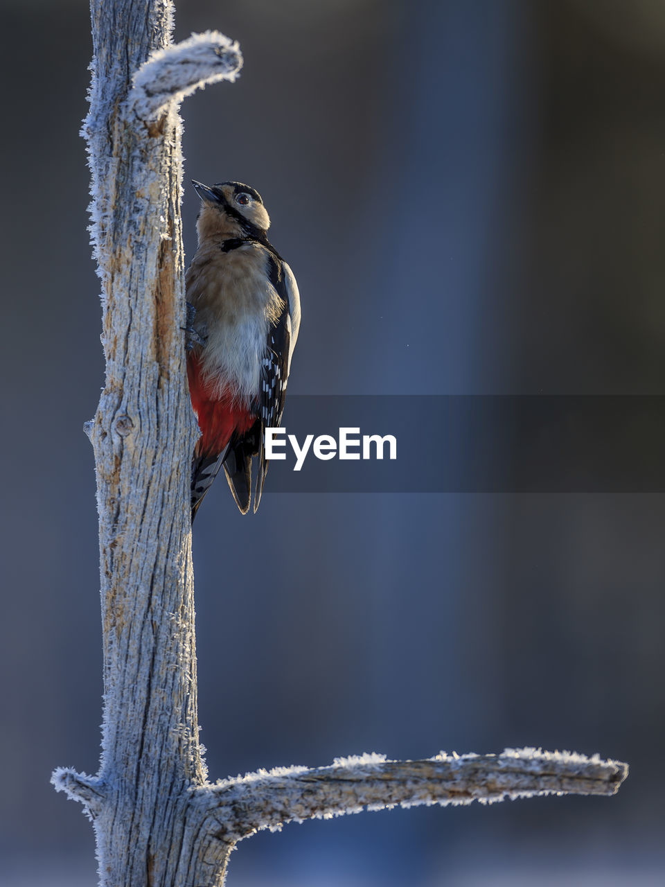 bird, animals in the wild, vertebrate, animal themes, animal wildlife, one animal, animal, perching, focus on foreground, no people, tree, winter, nature, cold temperature, day, close-up, branch, outdoors, snow, woodpecker