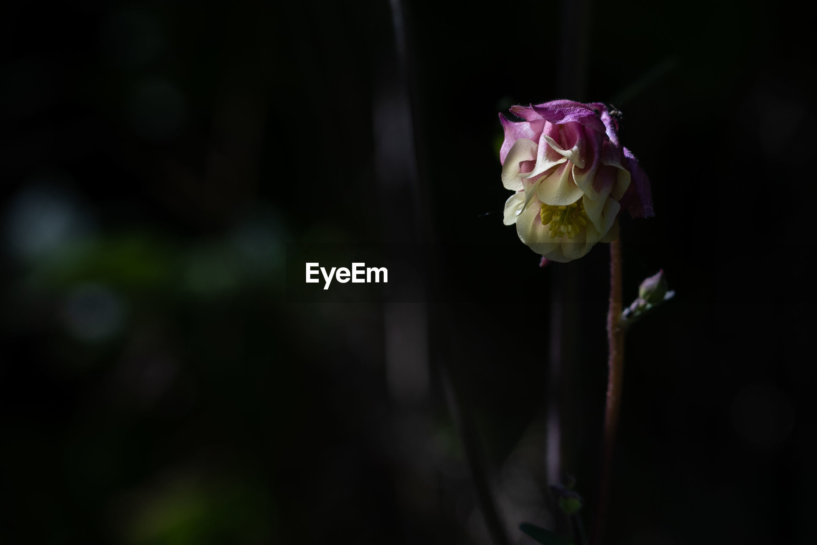 CLOSE-UP OF ROSE IN PLANT