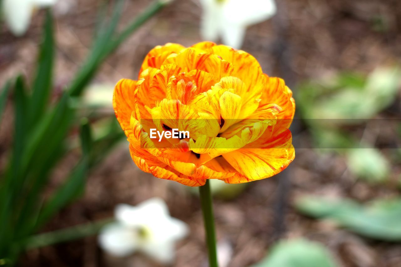 flowering plant, flower, plant, fragility, vulnerability, flower head, petal, beauty in nature, freshness, close-up, inflorescence, growth, yellow, focus on foreground, nature, day, no people, outdoors, orange color