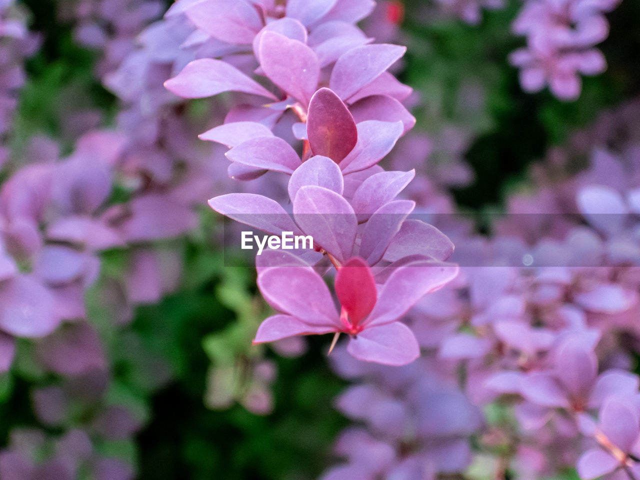 flower, flowering plant, petal, plant, beauty in nature, freshness, close-up, fragility, vulnerability, growth, pink color, flower head, inflorescence, no people, focus on foreground, nature, day, outdoors, botany, selective focus, purple