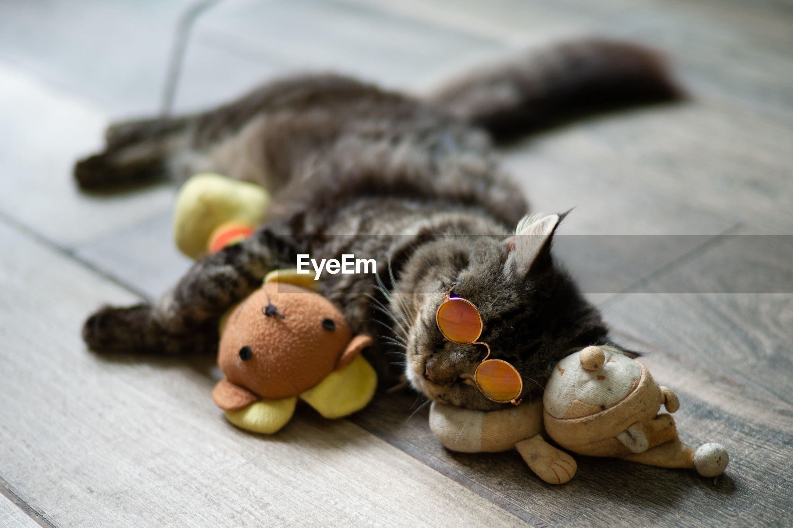 Close-up of cat wearing sunglasses lying with toys on hardwood floor