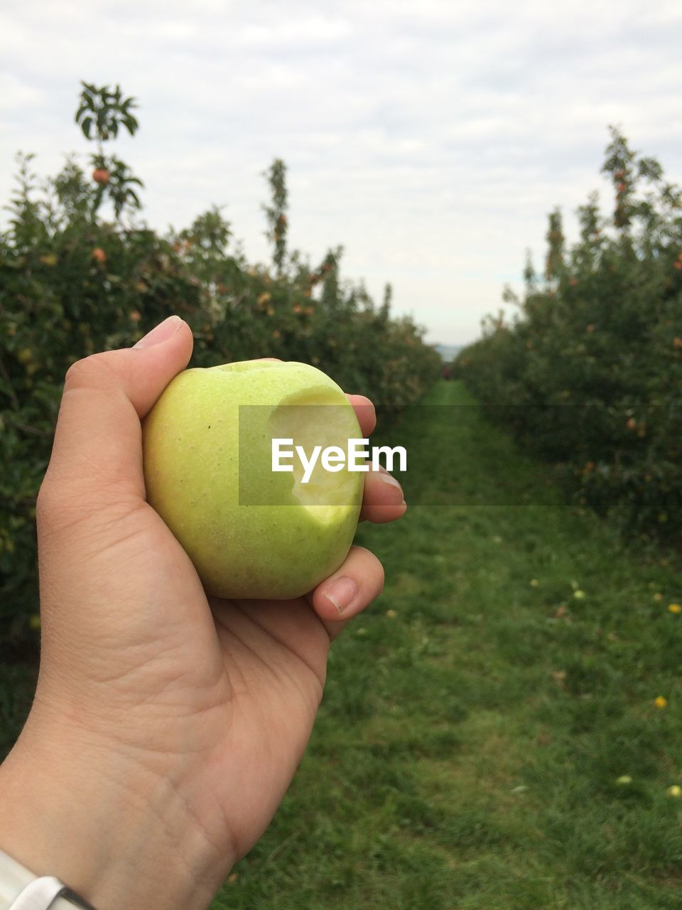 CROPPED IMAGE OF HAND HOLDING APPLES