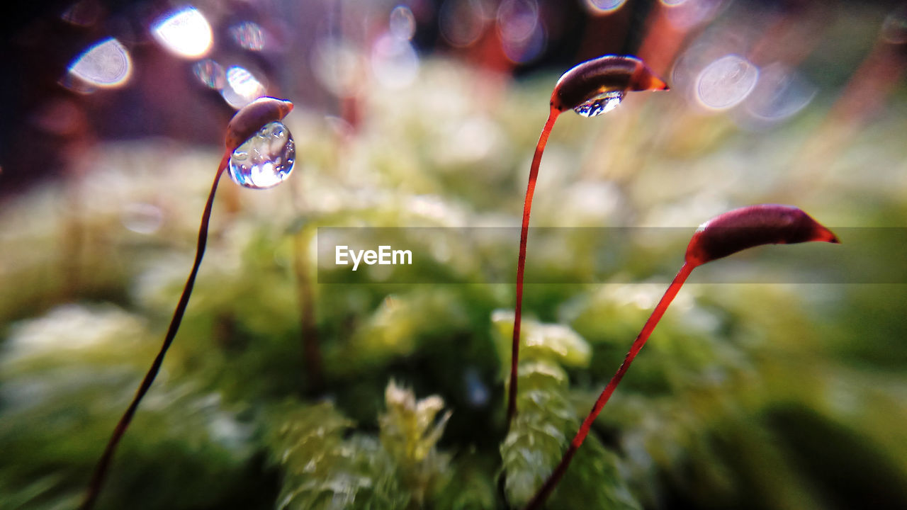 nature, growth, focus on foreground, plant, no people, outdoors, beauty in nature, water, day, close-up, red, fragility, freshness
