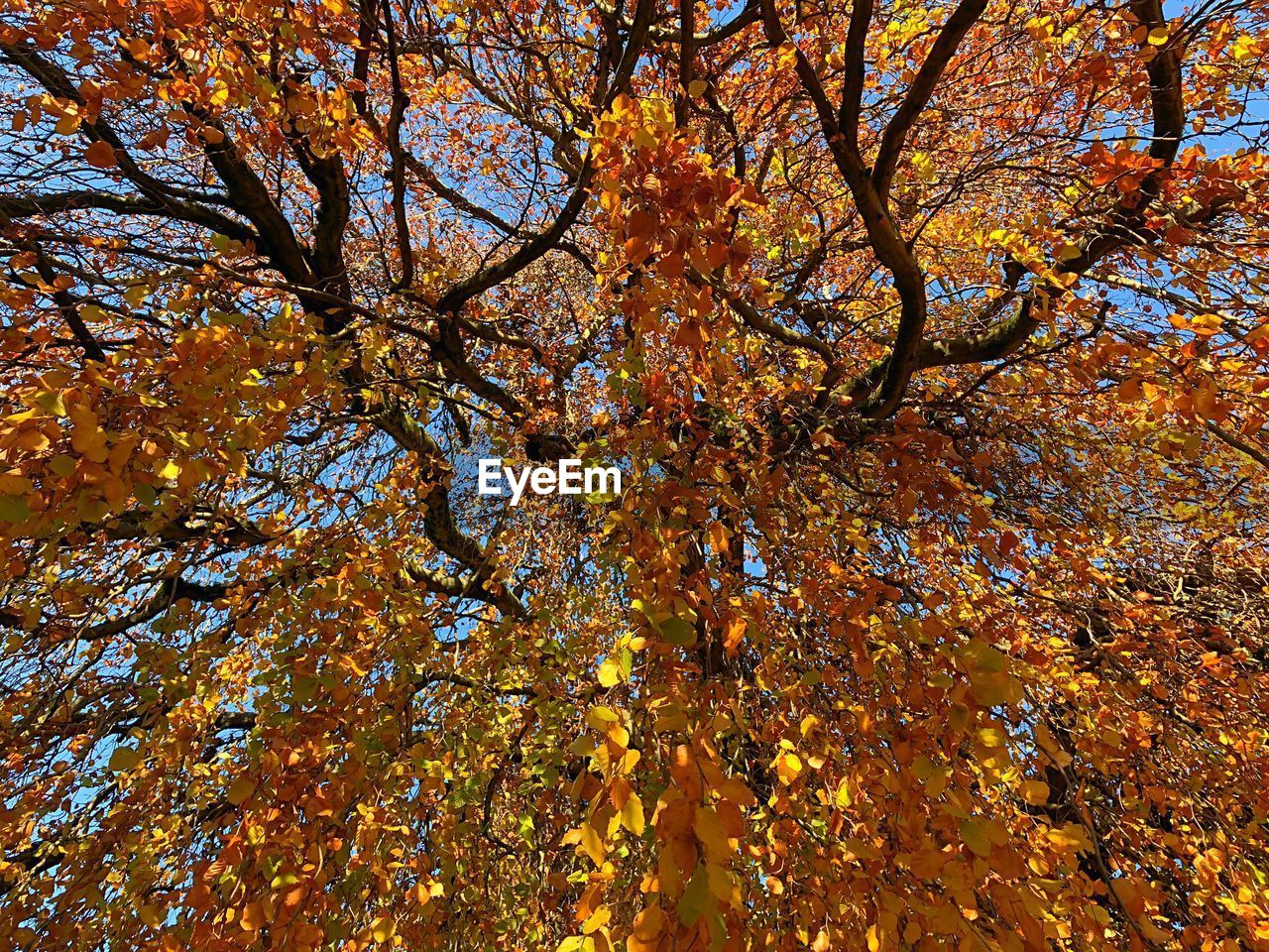 tree, plant, beauty in nature, autumn, low angle view, growth, branch, no people, full frame, backgrounds, change, nature, day, orange color, tranquility, flower, flowering plant, outdoors, tree trunk, trunk, tree canopy, fall, autumn collection, natural condition, directly below