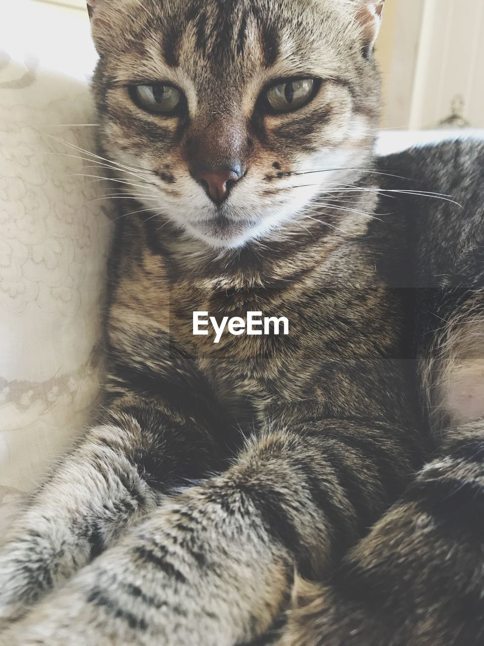 domestic cat, mammal, feline, one animal, animal themes, domestic animals, pets, indoors, no people, close-up, portrait, looking at camera, day